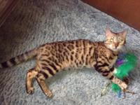 ***QUICK SALE*** She is 1 year's old. She is TICA