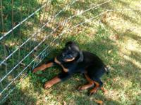 Female 12 week old Rottweiler puppy. Has had shots and