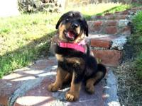 Female Rottweiler puppy 2 months, tail docked,