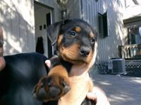8 week old female rotty pups akc 1 st shots tails and