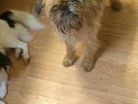 Eight-month-old, female Brussels Griffon. She has