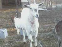 1.5 yr old female Saanan. Might be BRED. Was with a