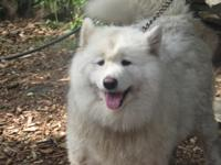 Rehoming female Samoyed 6 years old. AKC registered.