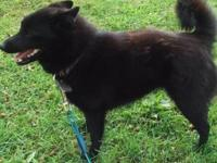 Cute black female Schipperke. Meets AKC breed standards