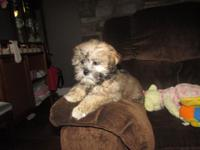 We have one darling ShiPoo. This sweet girl is non