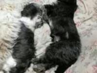 I have 2 very sweet female Shih Tzu. they are such