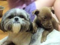 I have a female, spayed shih tzu for sale.  She is