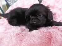 2 very adorable female Shih Tzu puppies ready for that