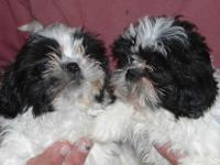 These beautiful purebred Shih Tzu females are now ready