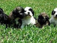 I have got 4 Definitely attractive Shih tzu puppies all
