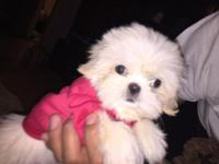 Stunning female Shih tzu puppy She is adorable! Pad