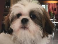 Adorable brown and white 16 week old Shih Tzu puppy for