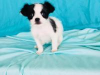 Female Chihuahua/ Shihpoo Mix Puppy looking for loving