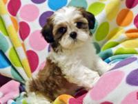 5 Female Shih Tzu puppies available. Non-shedding. 9