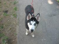 this is lika. an 8 month old female Siberian husky. she