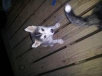 Hi, I have a female siberian husky puppy, she is 4