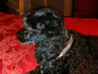 Joy is a beautiful black moyan standard poodle, the