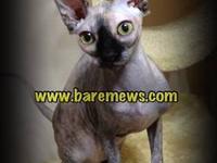 We have a beautiful Black Tortie female Sphynx kitten