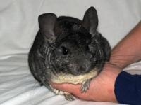 Beverly is a 5 year old standard gray chinchilla. She
