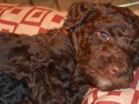 Absolutely Beautiful Standard Poodle puppies born