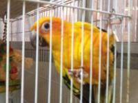 Patagonian Conure for Sale in Loomis, California Classified