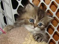 Tabby Female Persian Kitten. Born April 24th, Available