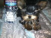 Female TCup Yorkie Puppy She is Small Approximately 3.5