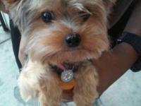 Looking to rehome my yorkie she is friendly, uses pads