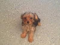 Beautiful female teacup yorkie for sale. She will be