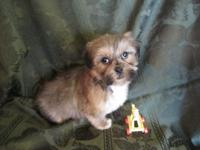 Teddy Bear young puppies, (Shih Tzu/Bichon Frise new