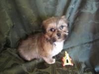 Teddy Bear young puppies, (Shih Tzu/Bichon Frise