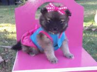 I have female tiny Pomeranian Female Brown sable color.