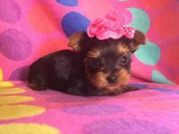 Tiny female Yorkie charting under 3 lbs., will