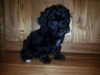 I have a black female Toy poodle left. She is utd on