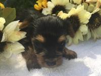 Cute adorable full blooded Female Yorkie Puppies for