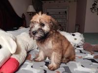 Molly is one of the nicest Wheaten puppies you will