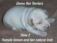 This is a female Rat Terrier. She is lemon and tan in