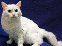 Spring is a white domestic long hair cat. She is about