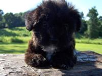 Young puppy is half Yorkshire Terrier, half Poodle. She