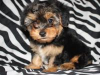 Adorable first generation Yorki-Poo puppies (2 females