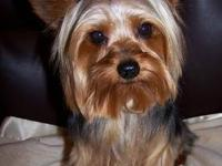 Pic #1-Cute male yorkie DOB 12/05/11, crate and potty