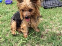 Female Yorkie 2 years old Has her shots Tail docked