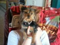 4 month old female yorkie up for adoption. Has each one