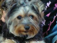 Female adult yorkie, 5 years old. Up to date with shots