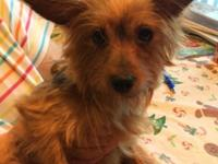 I have a 6 year old female yorkie for sale. she is an