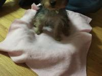 Diamond is a 3.5 pound yorkie she's pad trained very
