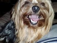 Four year old female Yorkie. Has produced four litters.