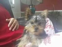 I have a one year old female yorkie that I am needing