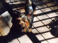 bella is a 2 yr old female yorkie who is very friendly