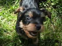 2 female Yorkie Poos, first shots, paper trained, have